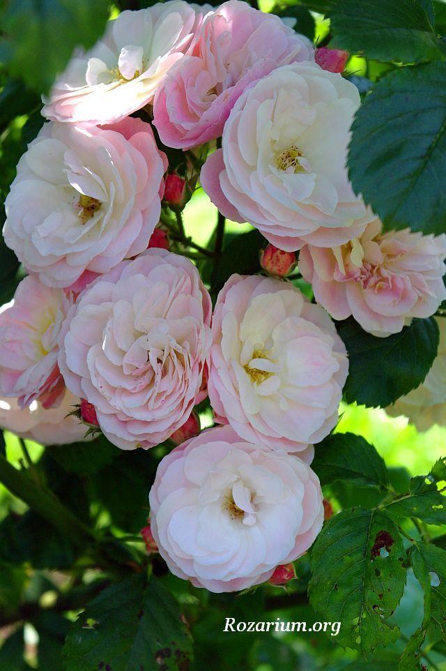 Bouquet Parfait Rosier est un arbuste de 1,50 m, à port érigé, se parant d'une floraison ininterrompue de juin aux gelées : des grappes sphériques de fleurs très doubles, d'abord rose tendre, virant au blanc laiteux. Vigoureux et très résistant aux maladies. Moschata. Lens, 1989.