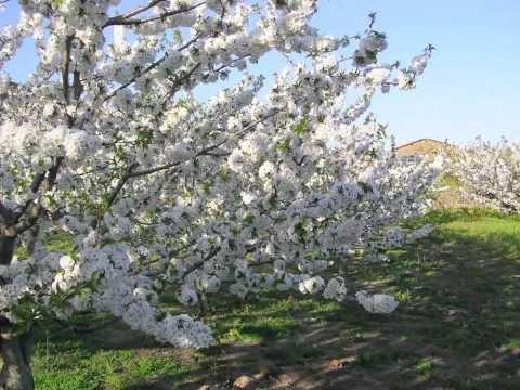 Espectáculos de la naturaleza. Floración del cerezo. Valle del Jerte. Cáceres. Extremadura. España. Fiesta de Interés Turístico Nacional