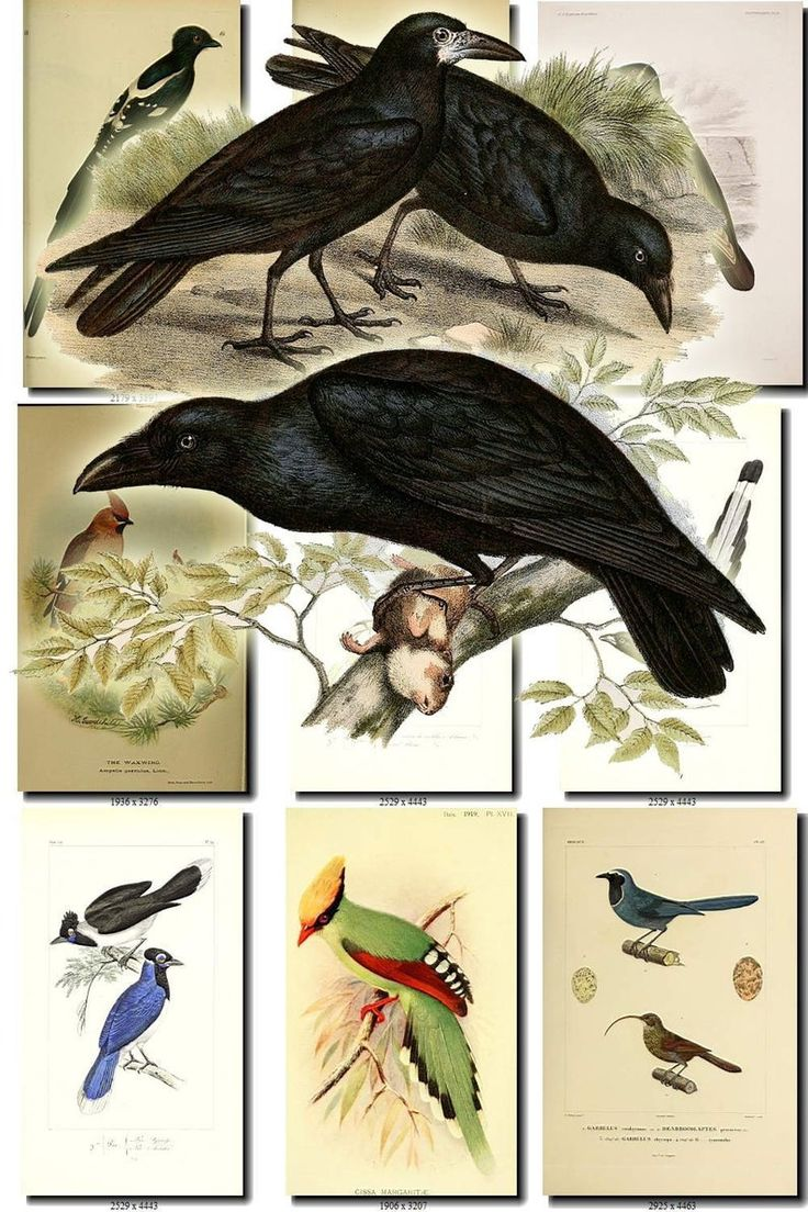 CORVIDAE-5 Vögel Sammlung von 54 Bildern Vintage Bilder Corvids Raven Corvus Elster Garrulus Hochauflösender digitaler Download zum Ausdrucken – Vintage printable scans