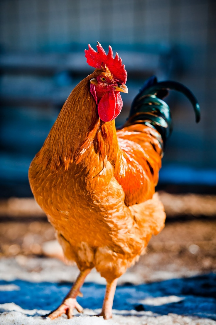 149 best roosters images on pinterest chicken coops country