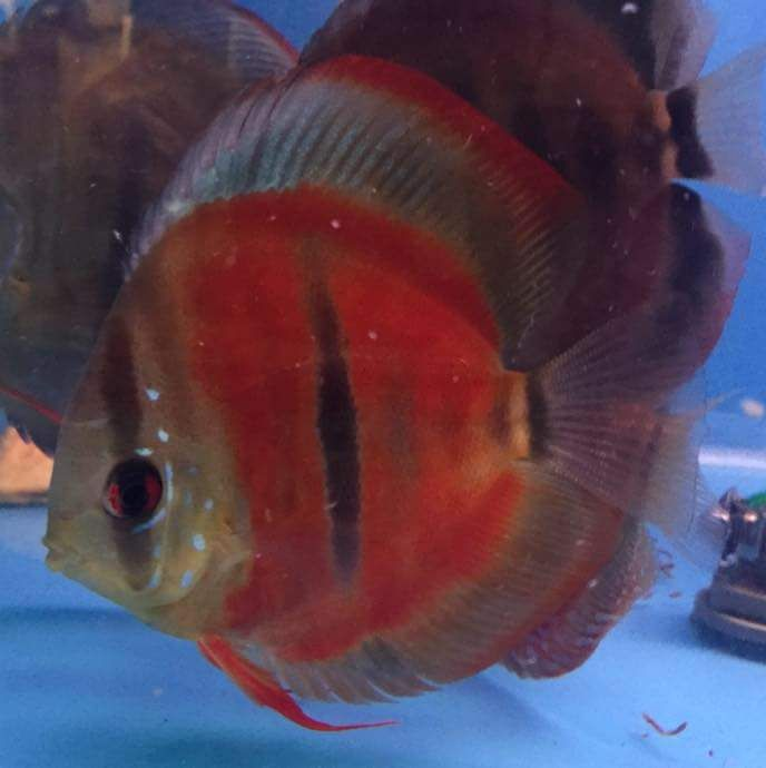 1000 images about discus fish on pinterest cichlids for Discus fish types