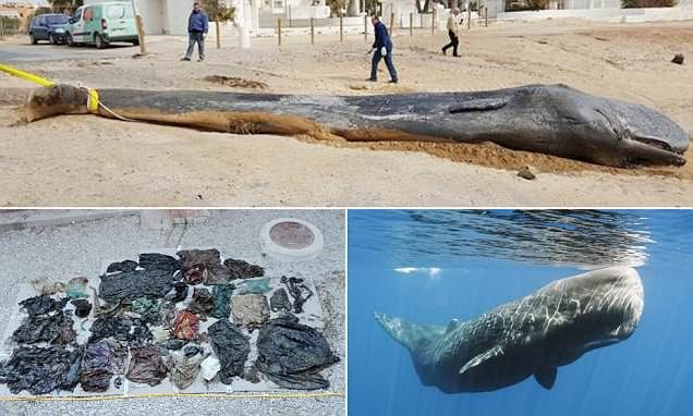 Sperm whale found dead on Spanish coast was killed by plastic waste #DailyMail