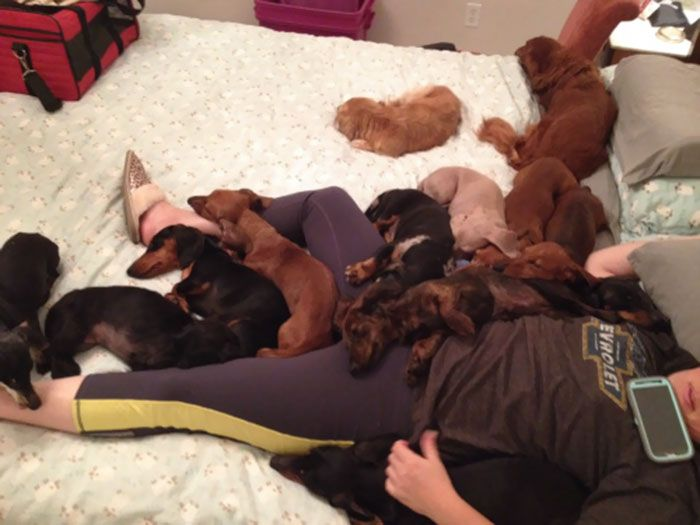 My Family Runs A Dachshund Rescue And Well, This Is Usually What It Looks Like
