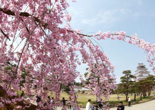 153:「鶴ヶ城公園 燐廓のしだれ桜」@鶴ヶ城公園