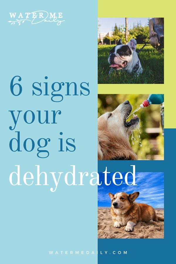 6 Signs Your Dog Is Dehydrated Pregnant Dog Pet Insurance Reviews Big Dog Care