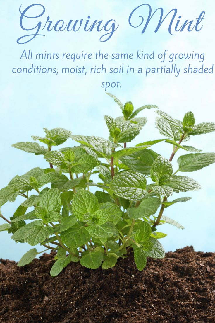 All mints require the same kind of growing conditions; moist, rich soil in a partially shaded spot