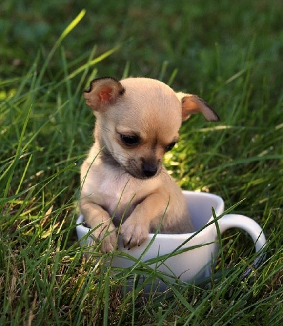 teacup chihuahua named jackson dogs pinterest