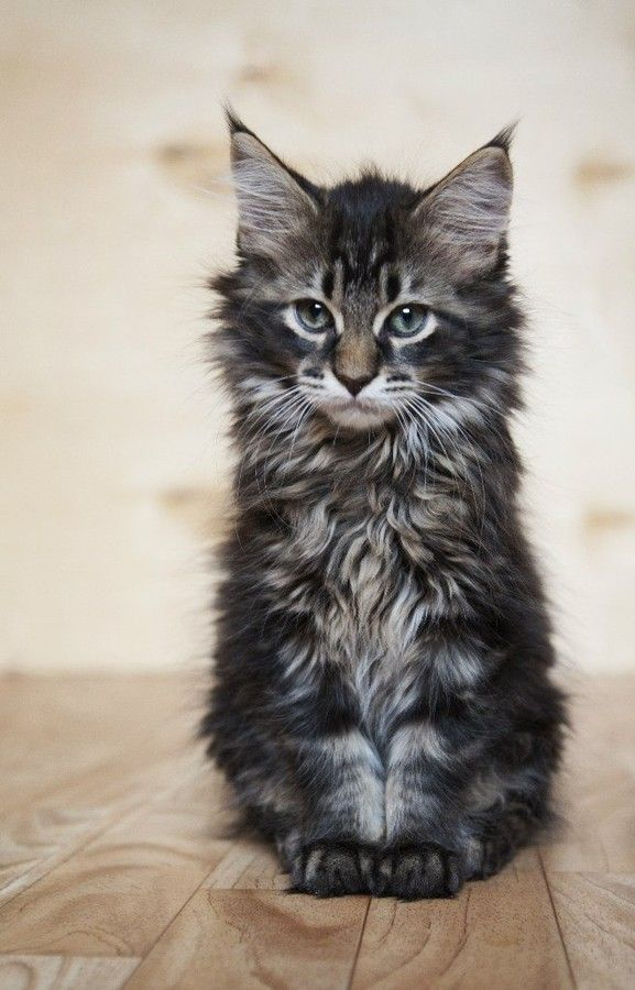 Maine Coon Cats The Gentle Giants. A family favorite. This is a Kitten, Adults can range up to 35 lb.