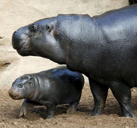Hipopótamo-pigmeo