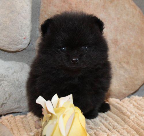 Pomeranian Puppies~~I have black Poms~ love them!!~~