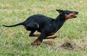 Image result for manchester terrier