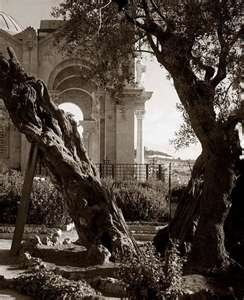 Garden of Gethsemane - Ancient Olive Trees, Israel