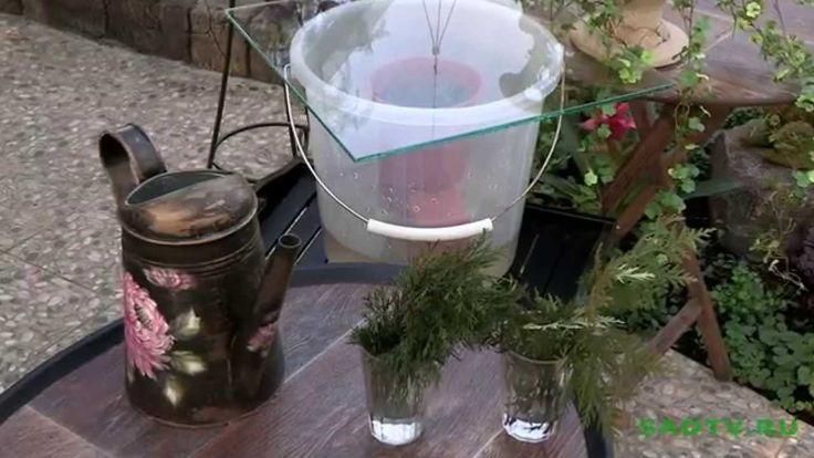 37  Укоренение  черенков хвойных растений.