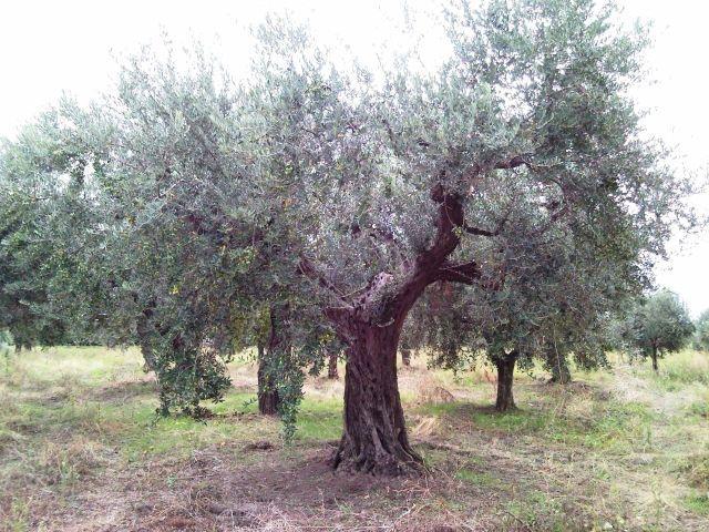 Das Olivenöl extra vergine enthält wichtige Elemente (Ölsäure, Polyphenole und Vitamine), der fähig ist positiv zu beeinflussen verschiedene Stoffwechselvorgänge des Organismus. ist daher ein nutraceutical Essen, hat also Eigenschaften mehr als andere Lebensmittel, in der Lage ist, die Einstellung Mechanismen einen gesundheitlichen Nutzen bieten.