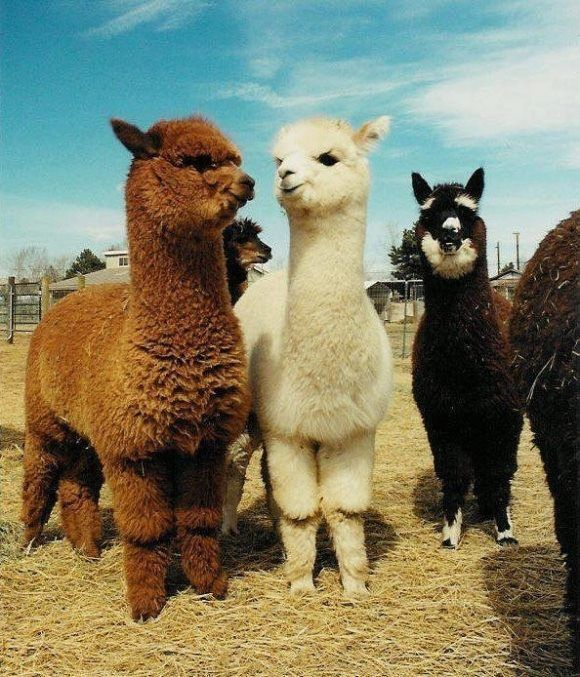 Alpacas - so cute - very rewarding - and NO - you do not eat them :) So you can…
