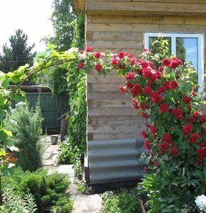 У плетистой розы есть один маленький секрет — чем больше ее стеблей находятся в горизонтальном положении, тем обильнее она цветет.