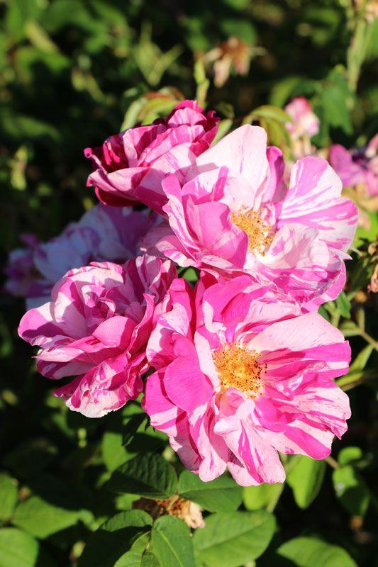 23 best vrtnice roses arboretum vol ji potok images on. Black Bedroom Furniture Sets. Home Design Ideas