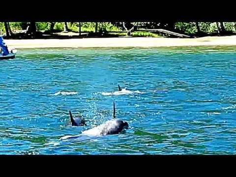 Golfinhos na Lagoa azul - Ilha Grande - Angra dos reis