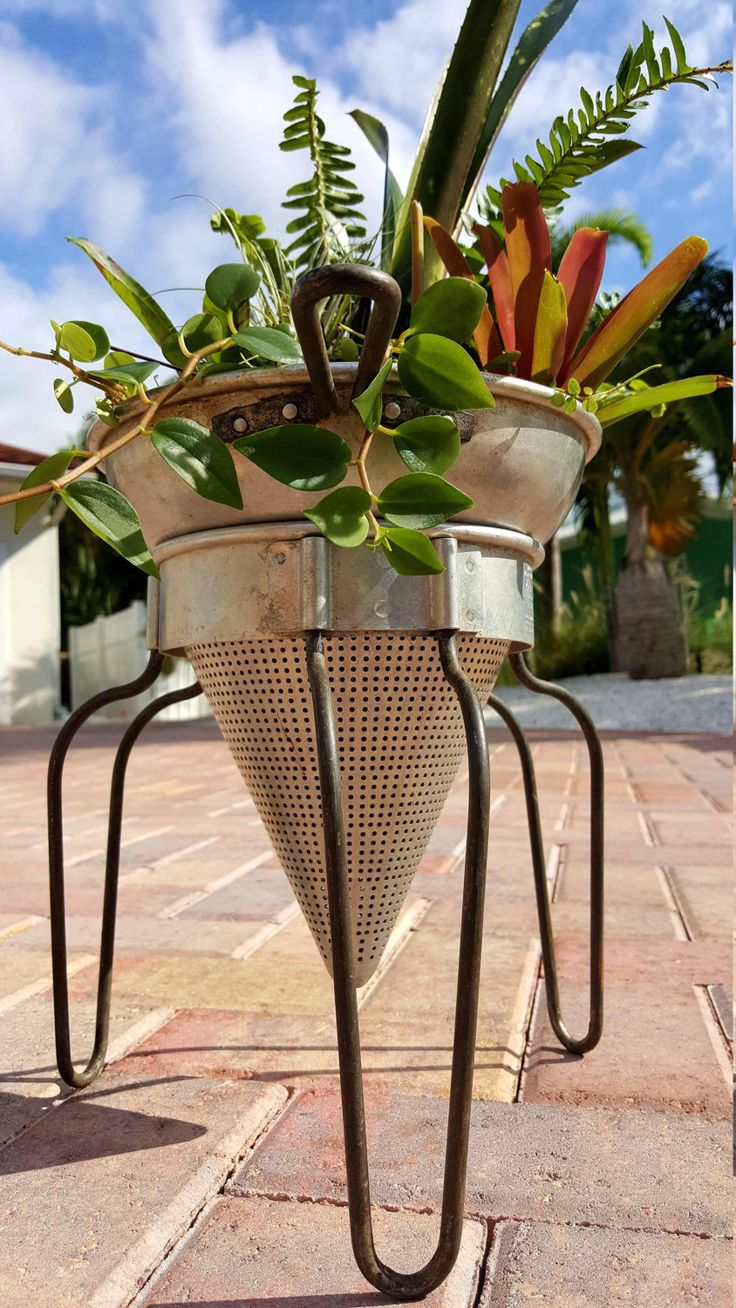 Air plants, Bromeliads, Tropical Plants in Vintage Aluminum Vegetable  Strainer from Early 1900s,
