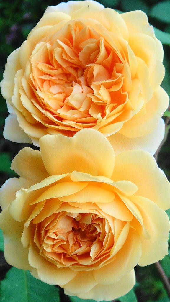 'Crown Princess Margareta' |  Shrub.  English Rose Collection.  Bred by David C. H. Austin (United Kingdom, 1990). | © kevin wood