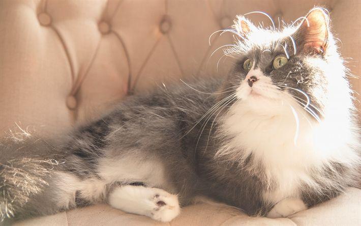 Hämta bilder grå katt, söta djur, lurviga katt, husdjur, huskatt