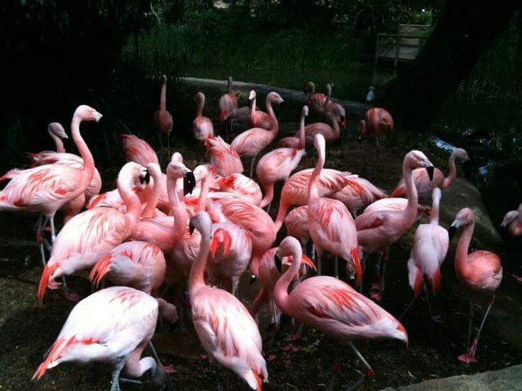 Greater Flamingos at the Durrell Conservation Park, Jersey © Amy Sharpe