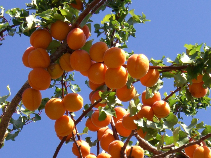 Teviot Valley, Roxburgh, Central Otago. Apricots - juicy and sweet... http://www.centralotagonz.com/visit-roxburgh