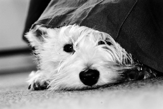 I am Crumpet 16 - Westie - Dog Photography - West Highland terrier - Wall Décor - 7x5 Print via Etsy