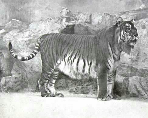 25+ best ideas about Caspian tiger on Pinterest | Extinct ...