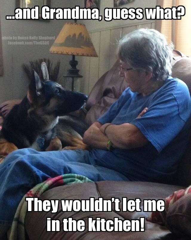 He's telling Grandma on you!!! LOL #germanshepherd #dog