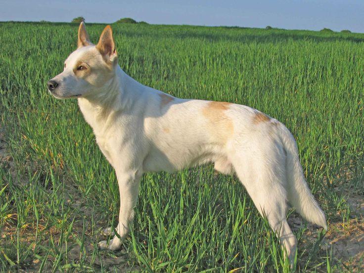 Canaan Dog - storia , caratteristiche e carattere Canaan Dog è un cane le cui origini sono sicuramente antiche. Non si hanno notizie precise e si ipotizza sia una evoluzione ottenuta con l'incrocio di un cane pastore con un Border Collie. E' un cane #canaandog #razzedicane