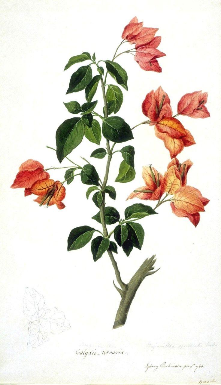 Botanical - Flower - Bouganville
