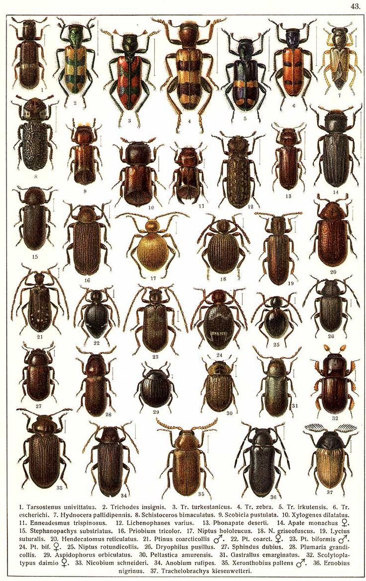 """G.G. Yakobson (1905-1915) - """"Beetles of Russia"""": table 43"""