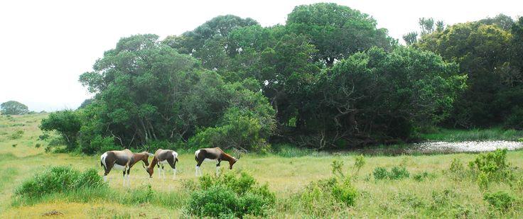 Bontebok on the plains near a water hole at Sibuya Game Reserve in the Eastern Cape, South Africa www.sibuya.co.za