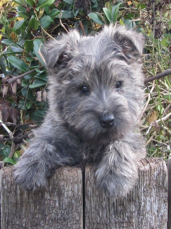 Cairn Terriër - Dee Not a sweeter dog in the world, I had one for 15 years, he was my heart ~ January 10th