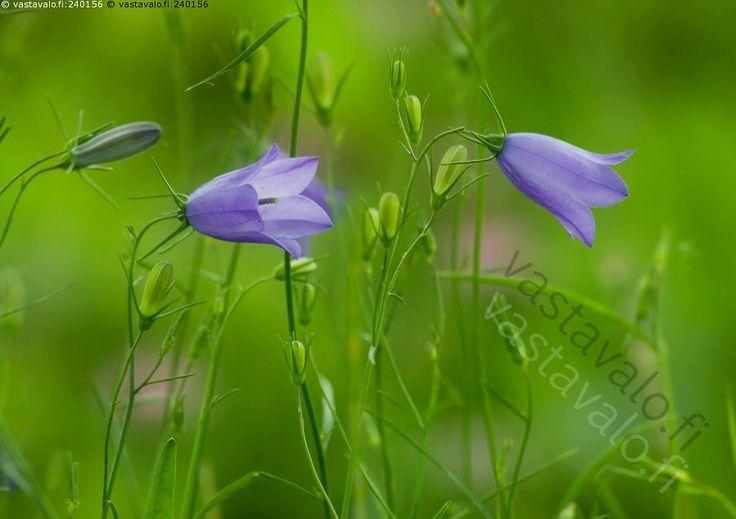 Kissankellot - kissankello Campanula rotundifolia kukka kukkia kesä sininen tunnelma kesäinen herkkä hempeä romanttinen vihreä tausta kellomainen siemenet niitty