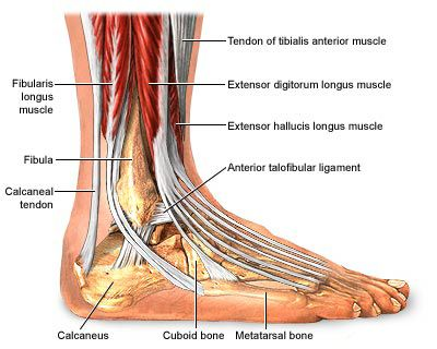 44 best images about muscles and anatomy on pinterest | upper leg, Human Body