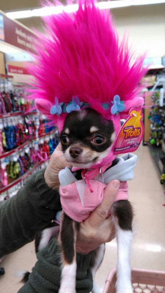 Chihuahua or troll?