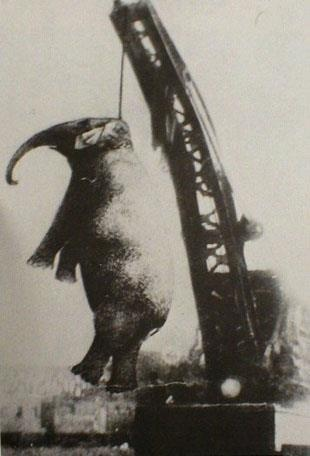A hotel worker was hired as an elephant trainer. He was killed by Mary  while taking her to a pond to splash and drink.  One witness said that he prodded her behind the ear after she reached down to nibble on a watermelon rind. She snatched him with her trunk, threw him against a stand and stepped on him.  Mary was hanged from an industrial crane. The first  snapped a chain, causing Mary to fall and break her hip. She died during a second attempt and was buried beside the tracks. September…