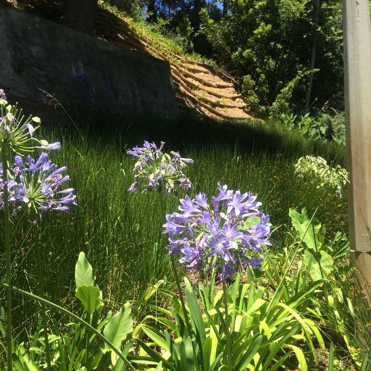 Agapanthus, Company's Garden, Cape Town