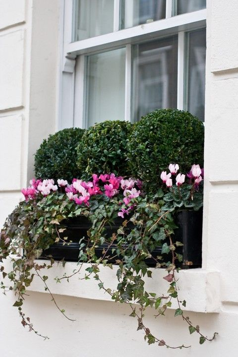 boxwood-filled window boxes with ivy & annuals - reminds me of London