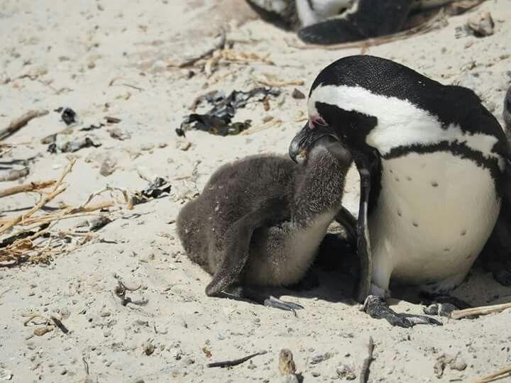 Penguins 🐧, Boulders Beach, Cape Town,South Africa