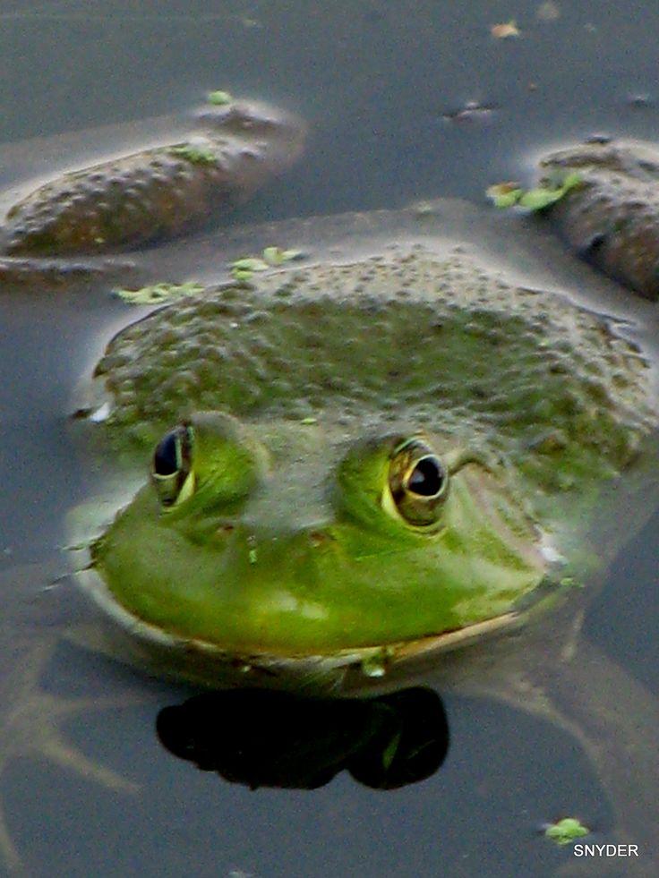 Bullfrog~