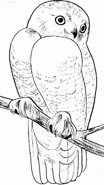 realistic snowy owl coloring pages coloring