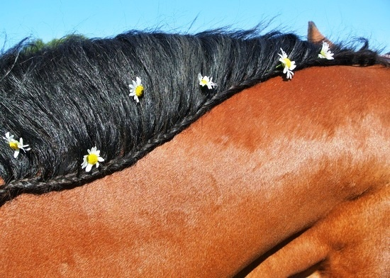 Braided horse mane daisy crown Toni Kami ❀Flowers in their coats❀