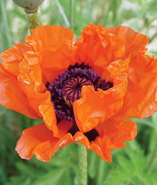 Poppy, Allegro  Oriental poppy. Perennial. Zone 3-9. Blooms - Spring. Big silky blossoms with stiff stems. Height 20 inches. Deer resistant