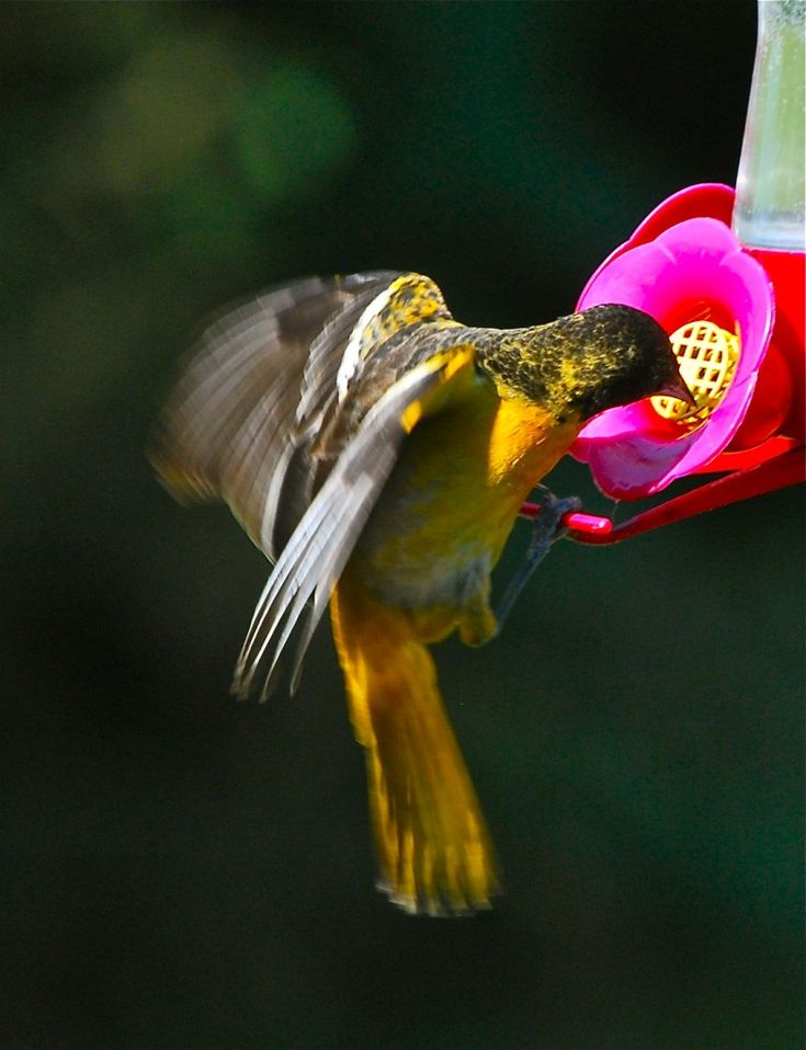 tips for attracting orioles to your yard from the birds blooms blog