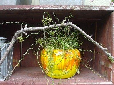 Perennial Corkscrew Rush – Learn How To Grow Corkscrew Rush Juncus