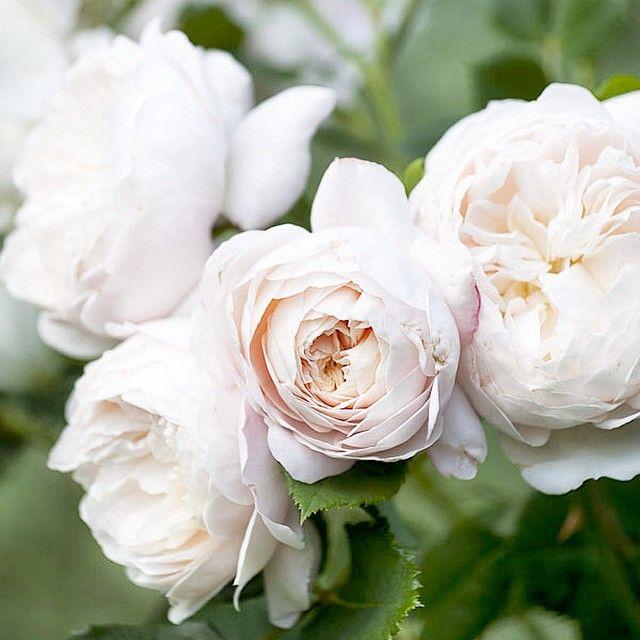 Charlotte Andersson - Crocus rose Emanu
