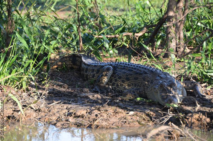 Corroboree Billabong boasts the largest concentration of saltwater crocodiles in the world